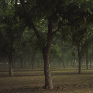 Pecan_tree