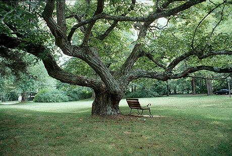 Chestnut tree fig4lg