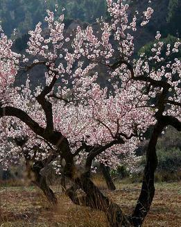 Almond+tree