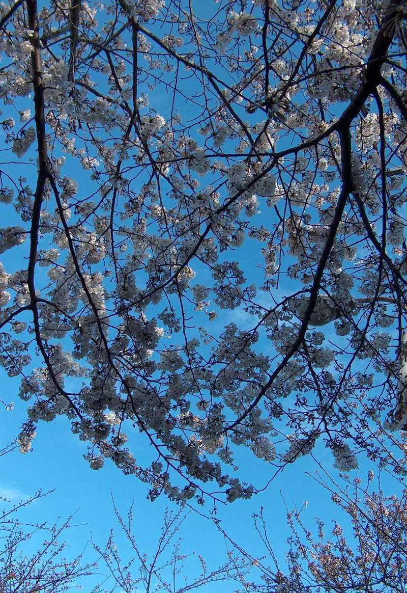Sakura_ii_hpim9479