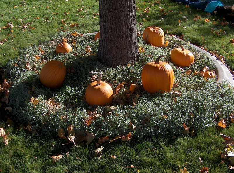 Pumpkins_around_largepmaple_3