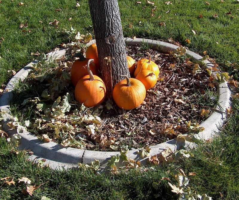 Pumpkins_around_small_maple_2
